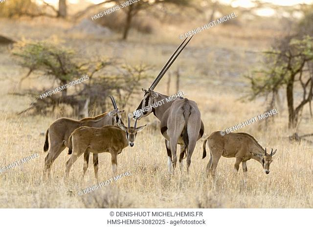 Kenya, Samburu Game Reserve, Oryx beisa (Oryx beisa), male and young ones in a nursery