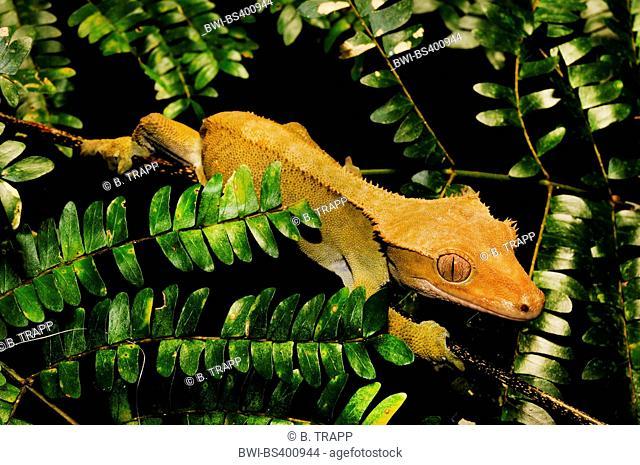 Crested Gecko, Eyelash Gecko, New Caledonian giant gecko (Rhacodactylus ciliatus, Correlophus ciliatus), climbs on a twig, New Caledonia, Ile des Pins