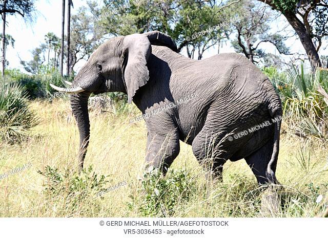 Botswana: Elephant in the Okavango-Delta swamps