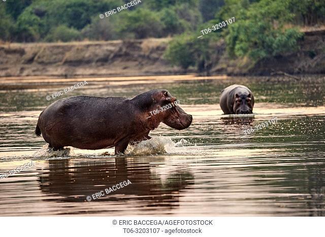 Hippo (Hippopotamus amphibius) entering the Luangwa river, South Luangwa National Park, Zambia
