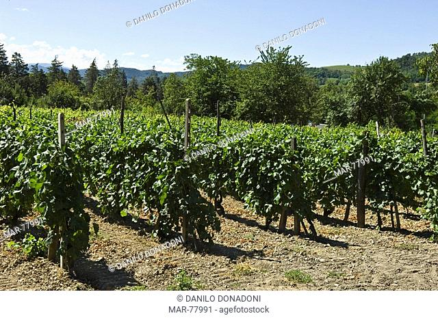 vineyards, godiasco, italy