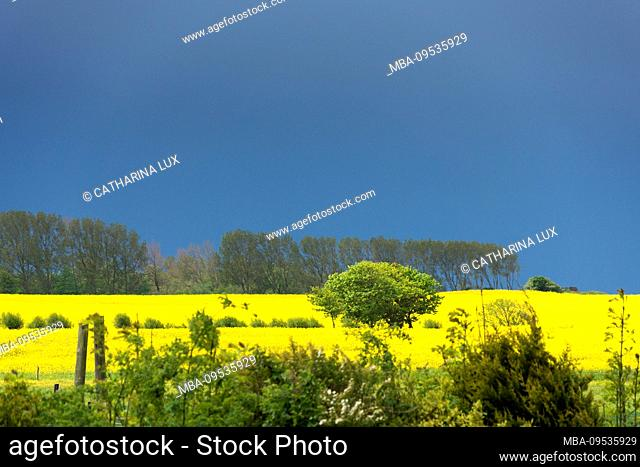 Fischland-Darss, landscape between Ahrenshoop and Wustrow, thunderstorm mood, color contrast to flowering rapeseed fields