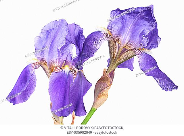 Closeup two iris flowers isolated on white background