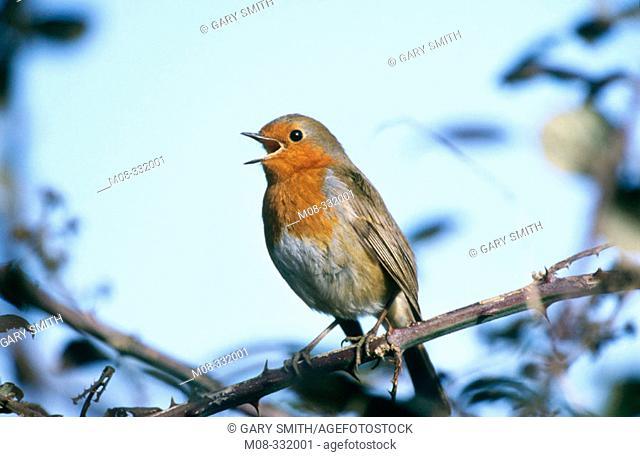 Singing Robin (Erithacus rubecula)