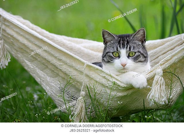 Domestic cat, Tabby and white cat in hammock
