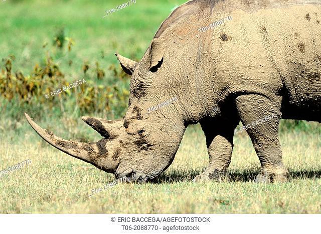 White rhinoceros grazing (Ceratotherium simum), Nakuru National Park, Kenya, Africa, October