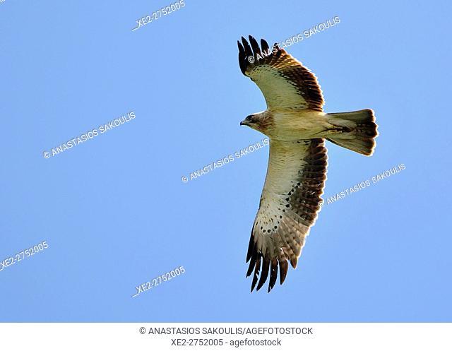 Booted Eagle (Hieraaetus pennatus), Crete