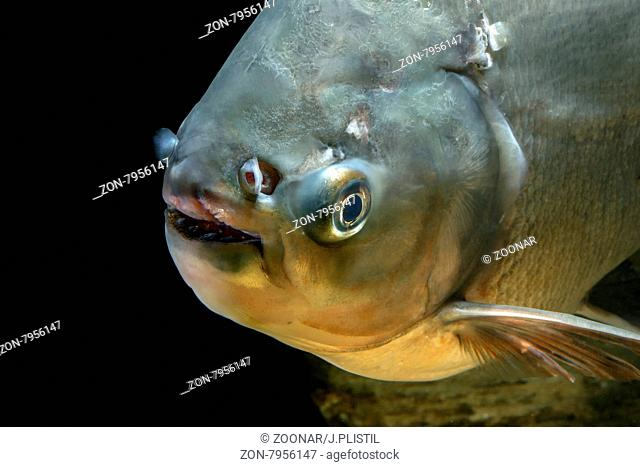 Detail of head piranha fish from genus Colossoma