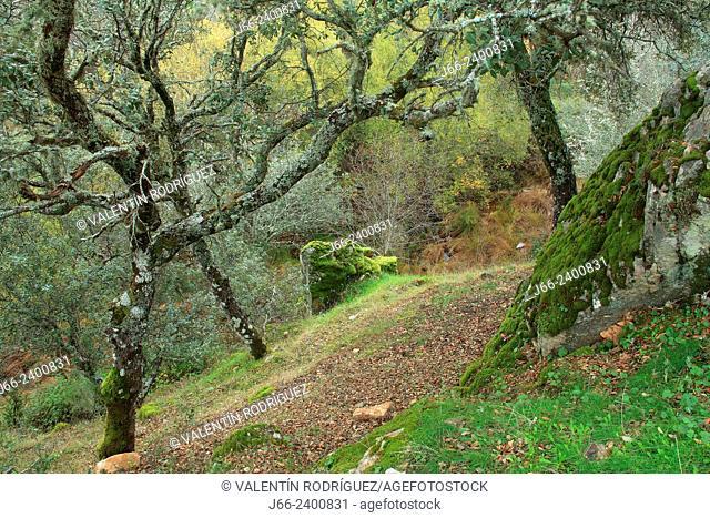 oak forest (Quercus ilex and Quercus faginea) on the banks of the river Estena in Boquerón del Estena route, national park Cabañeros. Ciudad Real