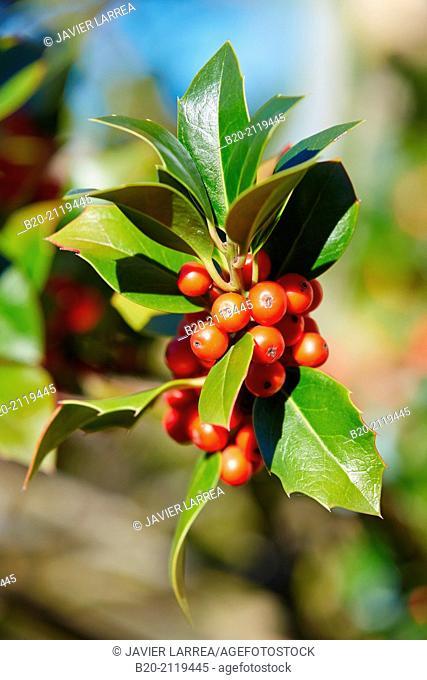 Holly. Ilex aquifolium