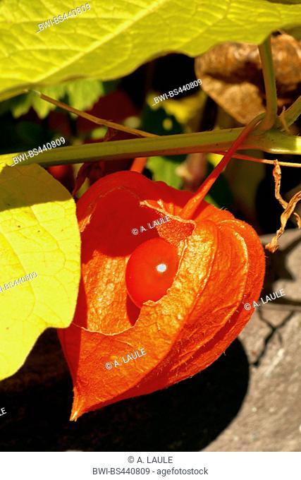 Chinese-lantern-plant, Chinese lantern, Japanese lantern, winter cherry, strawberry tomato, strawberry ground-cherry (Physalis alkekengi), ripe fruit