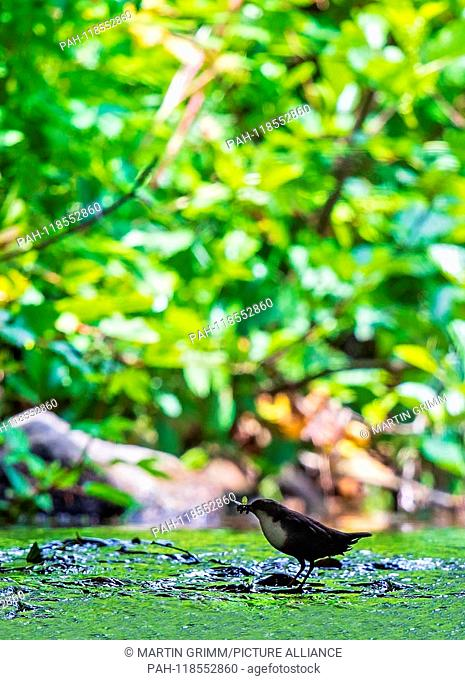 Common Dipper (Cinclus cinclus) adult with caddisfly larva in bill standing in river, Hesse, Germany   usage worldwide. - /Hessen/Germany