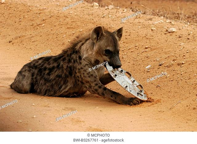 spotted hyena Crocuta crocuta, sitting in a desert landscape playing with the lost felloe of a car, South Africa, Northern Cape, Kgalagadi Transfrontier Park