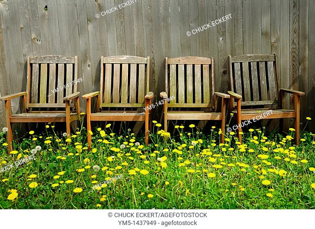 Backyard dandelions and chairs