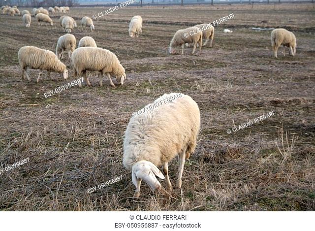 Sheep from a road in Italy in a stubble field