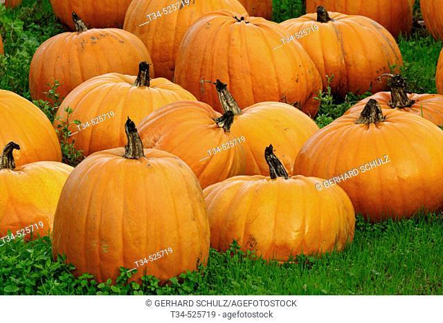 Pumpkins. California, USA