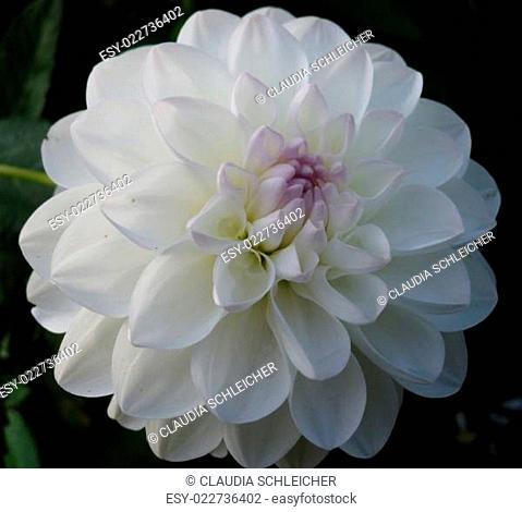 Dahlie Dahlia weiß-flieder