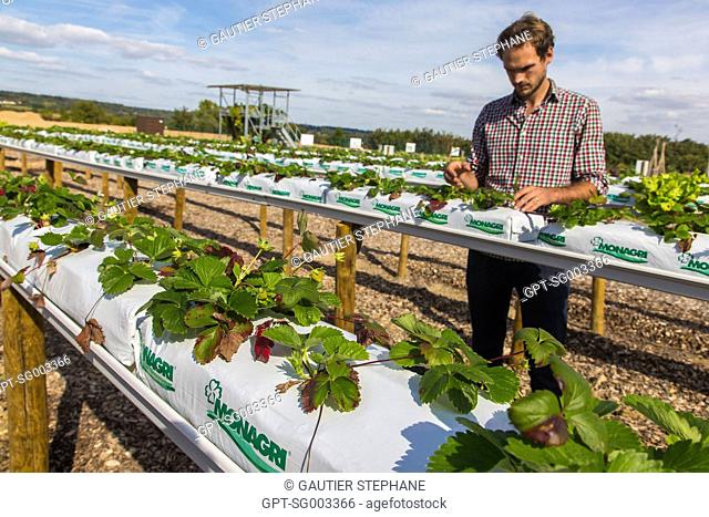 ABOVE-GROUND CULTIVATION OF STRAWBERRIES ON A SUBSTRATUM OF COCONUT FIBERS, ALEXIS LEFEBVRE, HEAD OF THE URBAN AGRICULTURE PROJECTS, THE FERME DE GALLY