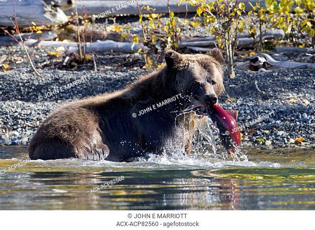 Grizzly bear catching a sockeye salmon, British Columbia, Canada