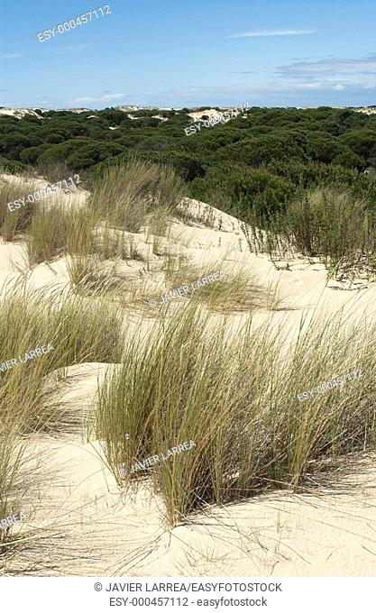 'Dunas móviles' (moving dunes) and 'corrales' (groups of pine trees encircled by dunes). Doñana National Park. Huelva province. Spain