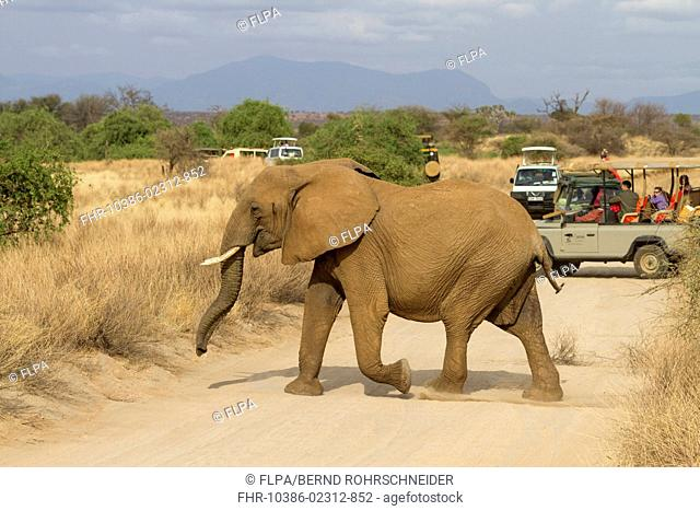 African Elephant (Loxodonta africana) adult, crossing track in front of safari vehicles with tourists, Samburu National Reserve, Kenya, August