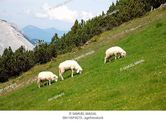 Austria, Tirol, Sheeps on the Field