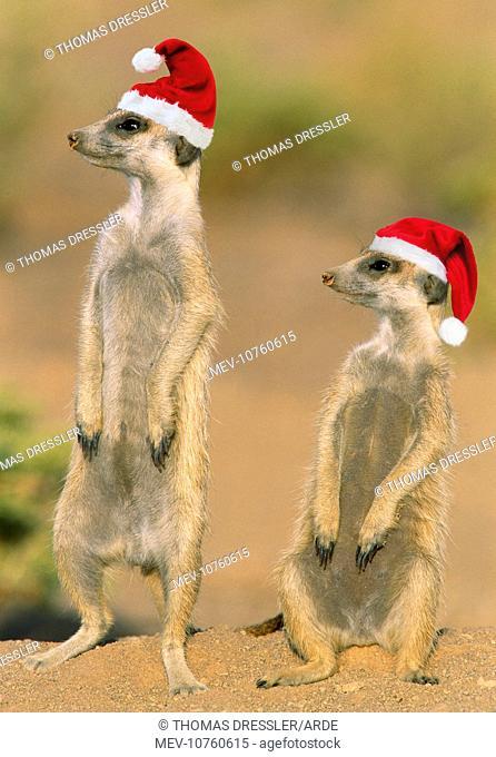 Suricate - on hind legs wearing Christmas hats (Suricata suricatta)