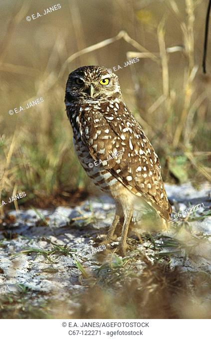 Burrowing Owl (Speotyto cunicularia). USA