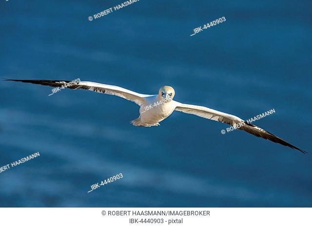 Northern gannet (Morus bassanus) in flight, Heligoland, Schleswig-Holstein, Germany