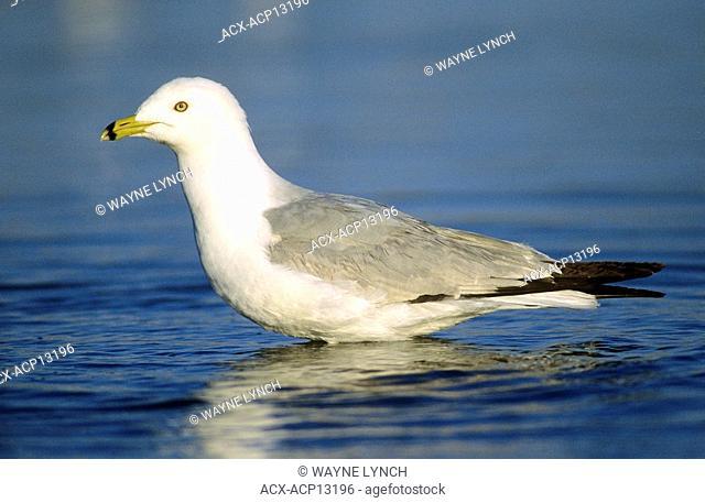 Adult ring-billed gull Larus delawarensis, southern Alberta, Canada