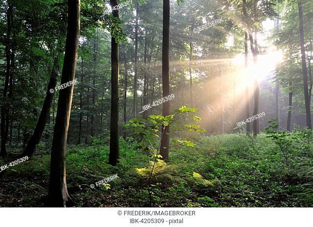 Sunrays bursting through the fog in a deciduous forest, North Rhine-Westphalia, Germany