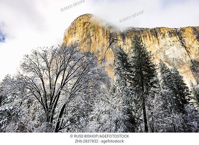 El Capitan and black oak in winter, Yosemite National Park, California USA