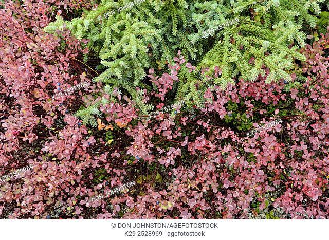 Arctic blueberry (Vaccinium uliginosum) Autumn foliage and berries, Ennadai Lake, Nunavut, Canada
