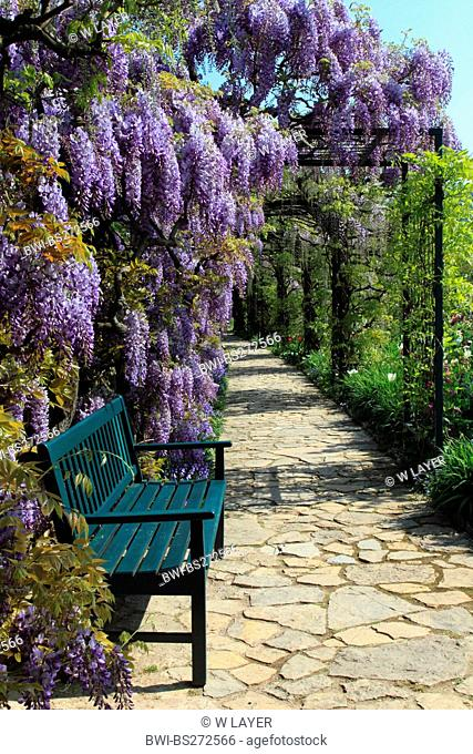 Chinese wisteria Wisteria sinensis, garten bench with wisteria, Germany