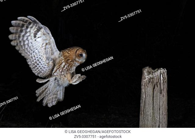 Tawny Owl-Strix aluco in flight. Uk