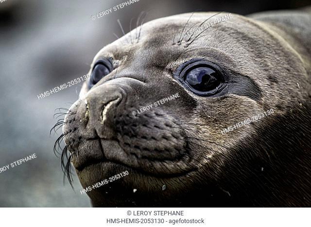 South Atlantic Ocean, South Georgia Island, elephant seal (Mirounga leonina), young, portrait