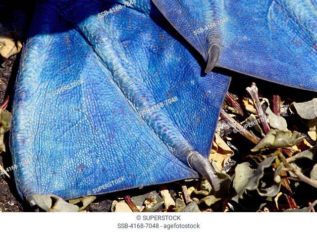 ECUADOR, GALAPAGOS ISLANDS, HOOD ESPANOLA ISLAND, BLUE-FOOTED BOOBY Sula nebouxii, CLOSE-UP OF FEET