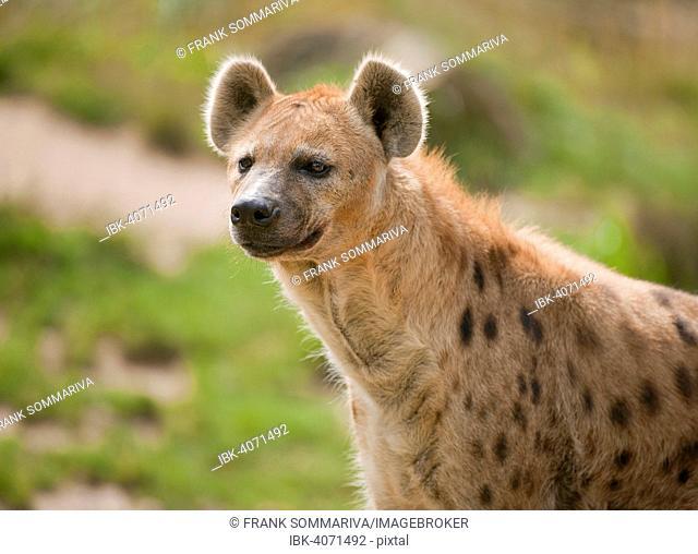 Spotted Hyena or Laughing Hyena (Crocuta crocuta), captive, Saxony, Germany