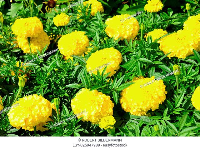 marigold (tagetes erecta)