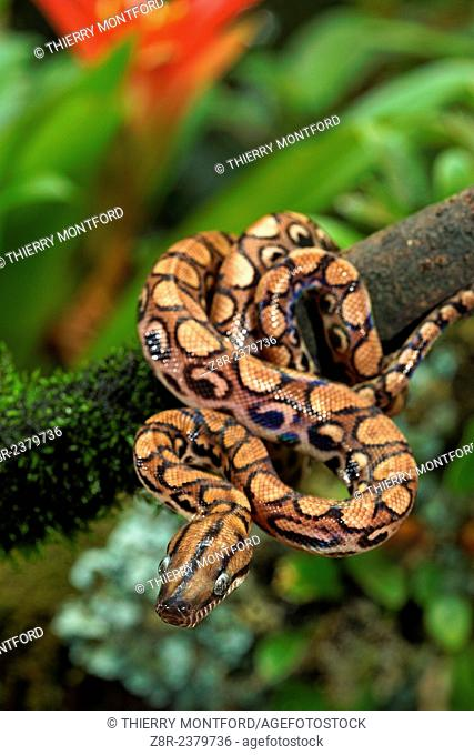 Epicrates cenchria. Young rainbow boa on a low branch. French Guiana