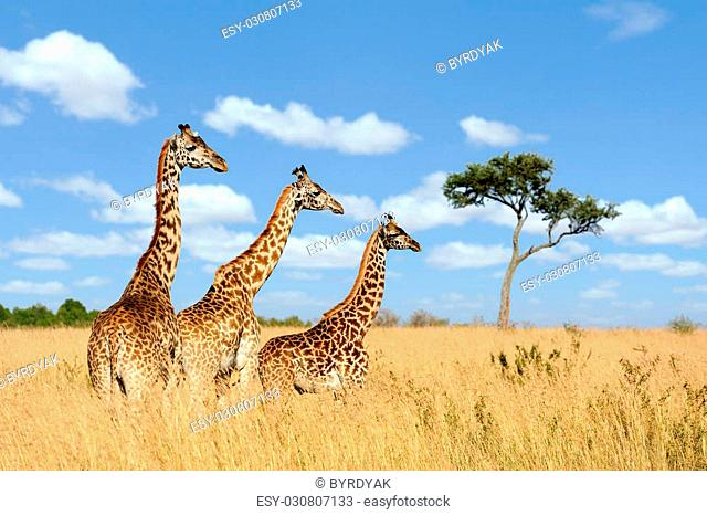 Group giraffe in National park of Kenya, Africa