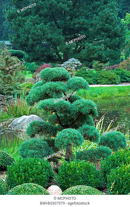 Scotch Pine Scots Pine Pinus Sylvestris Norske Typ Pinus Sylvestris Norske Typ Garden Bonsai Stock Photo Picture And Rights Managed Image Pic Bwi Bs307579 Agefotostock