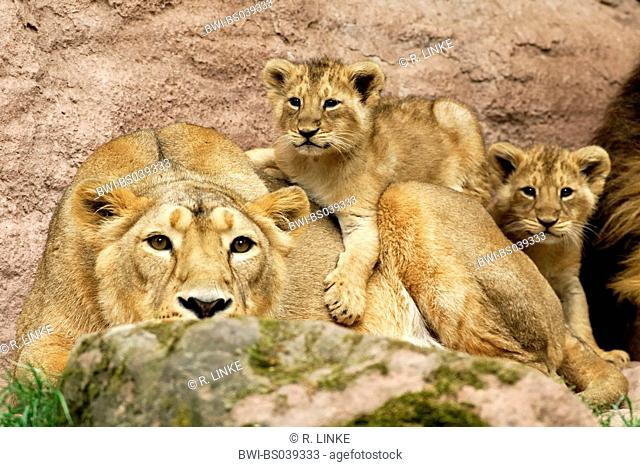 lion (Panthera leo), female with two cubs