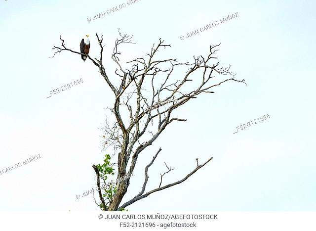 African Fish Eagle, Kasanka National Park, Serenje, Zambia, Africa