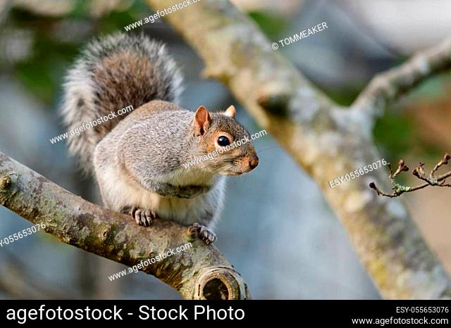 Close up of a gray squirrel sitting in a tree