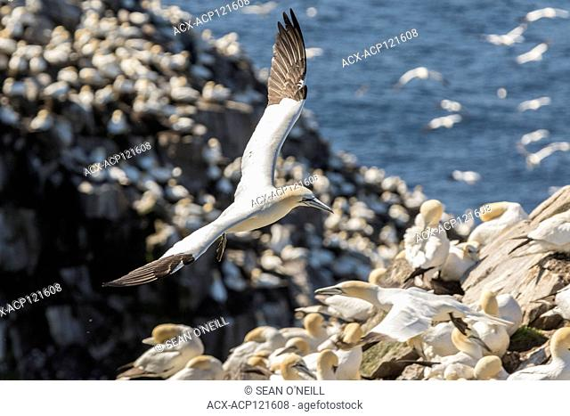 Northern Gannet flying, Morus bassanus, Cape St. Mary's ecological reserve, Newfoundland, Canada, breeding colony
