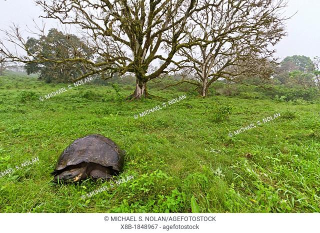 Wild Galapagos giant tortoise Geochelone elephantopus feeding on the upslope grasslands of Santa Cruz Island in the Galapagos Island Archipelago, Ecuador