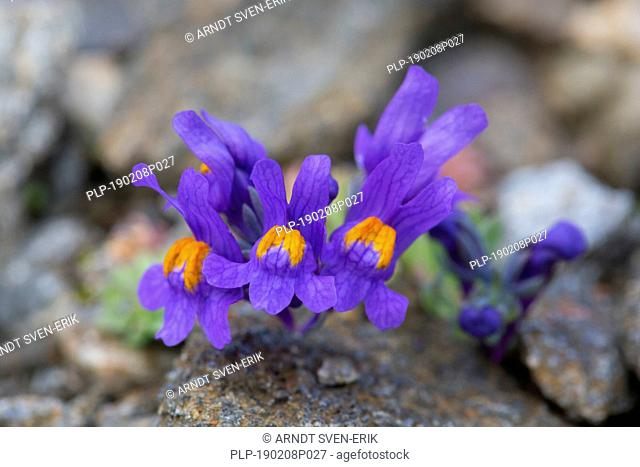 Alpine toadflax (Linaria alpina) in flower in summer in the European Alps