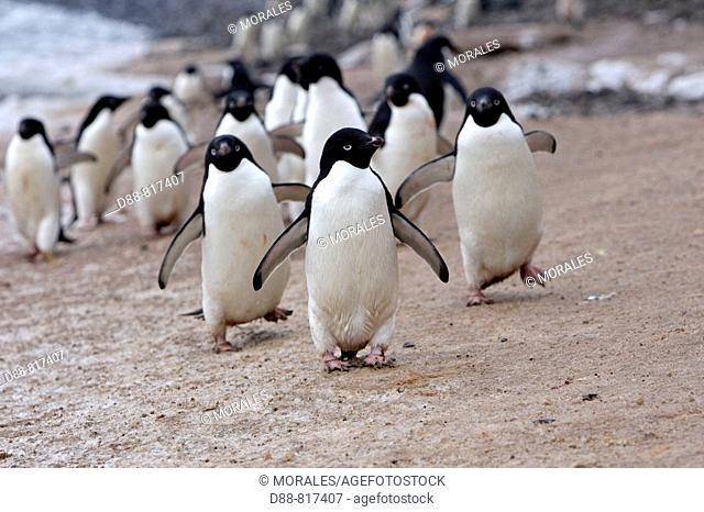 Adelie Penguin (Pygoscelis adeliae), Antarctica