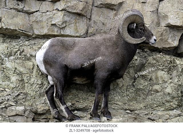 Bighorn sheep in Yellowstone's Lamar Valley